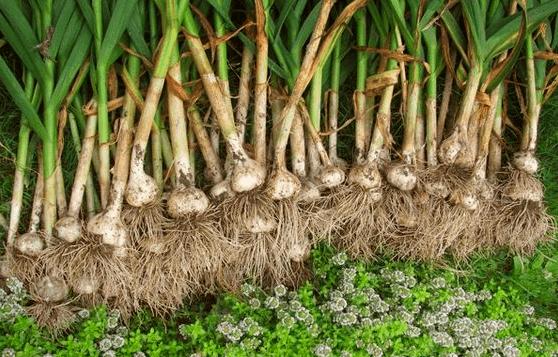 Сбор свежего урожая озимого чеснока