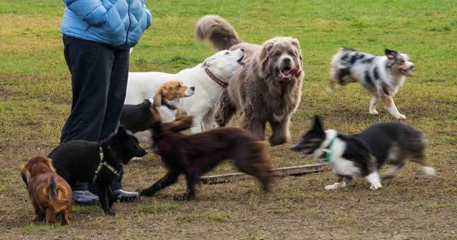 Свора собак на выгуле