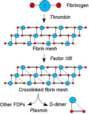 Схема принципа теста на D-димеры
