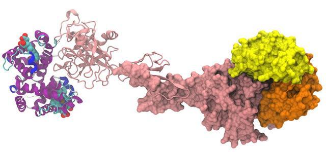 Модель гексамера комплекса α,β-гемоглобина/гаптоглобина