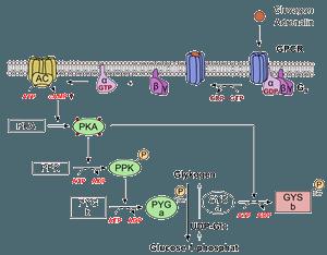 Роль глюкагона в регуляции метаболизма глюкозы (антагонизм с инсулином)