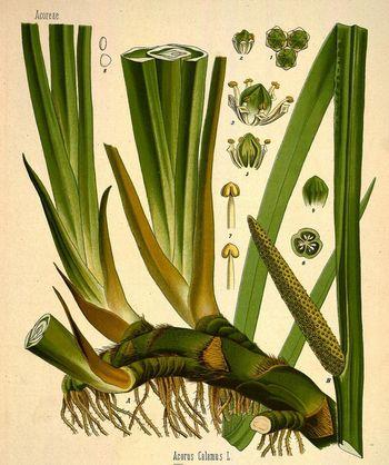 Изображение acorus calamus из каталога