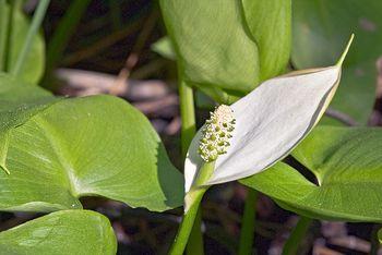 Крылышко белокрыльника с распускающимся цветком
