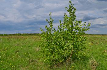 Молодая берёза в русском поле