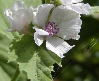 Цветок алтея лекарственного