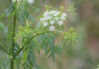 Цветок болиголова крапчатого