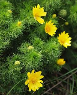 Цветущий куст адониса весеннего