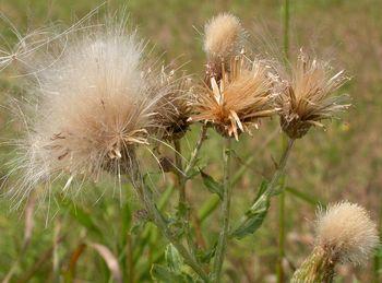 Опушенные головки бодяка полевого