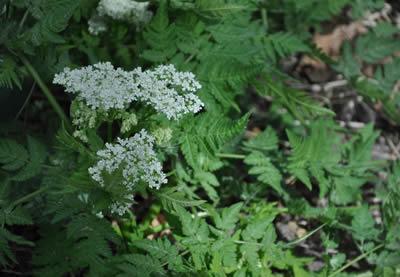 Цветущее растение аниса
