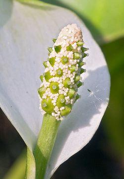 Распускающееся соцветие белокрыльника